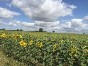 Sunflower field nearby Vichy France