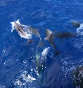 Seychelles dolphins playing with the bow wave in front of our vessel